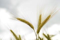 Korn i fältet, skördfält Arkivbilder