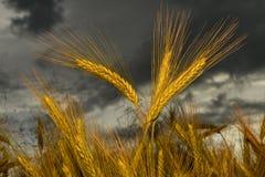 Korn i fältet, skördfält Royaltyfri Bild