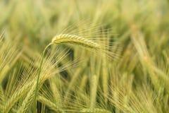 Korn i fältet, skördfält Royaltyfria Bilder