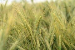 Korn i fältet, skördfält Royaltyfri Foto