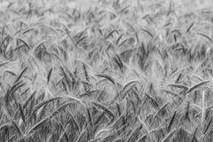 Korn i fältet, skördfält Arkivbild