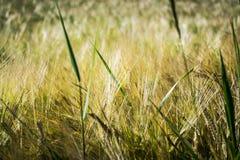 Korn i solljus Royaltyfri Fotografi