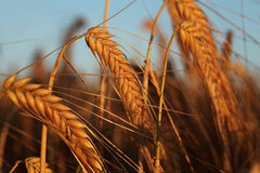 Korn i solnedgångljuset Fotografering för Bildbyråer