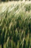 Korn i sommarsolnedgången Arkivfoto