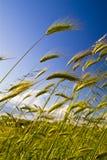 Korn i vindrörelsen Arkivfoto