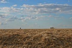 Korn och partiklar av vete som omkring exploderar under skörd Fotografering för Bildbyråer
