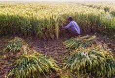 Korn och partiklar av vete som omkring exploderar under skörd Royaltyfri Foto