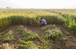 Korn och partiklar av vete som omkring exploderar under skörd Arkivbilder