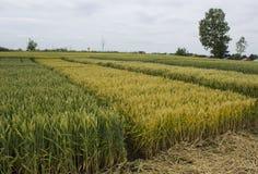 Korn- och vetefält Royaltyfri Bild
