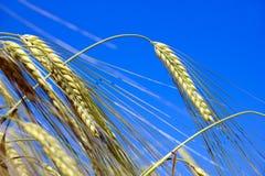 Korn på bakgrunden för blå himmel Arkivbild