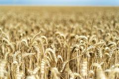 Korn på ett fält i Europa royaltyfri foto