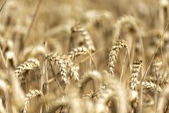 Korn på ett fält i Europa royaltyfri fotografi