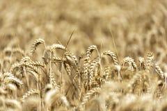 Korn på ett fält i Europa arkivfoto