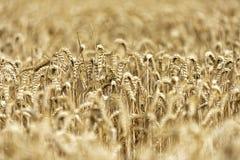 Korn på ett fält i Europa royaltyfria foton
