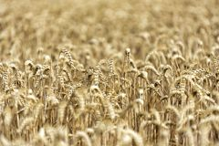 Korn på ett fält i Europa royaltyfri bild