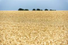 Korn på ett fält i Europa arkivfoton