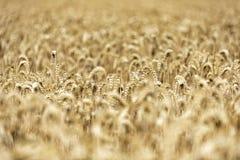 Korn på ett fält i Europa arkivbilder