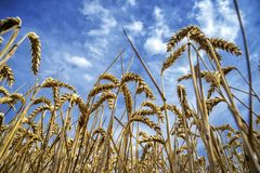 Korn på ett fält i Europa royaltyfria bilder