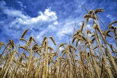 Korn på ett fält i Europa fotografering för bildbyråer