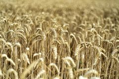 Korn på ett fält i Europa arkivbild