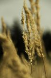 Korn på fältet Arkivbilder