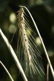 Korn på fältet Arkivfoton