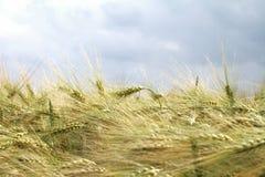 Korn på fältet Royaltyfri Fotografi