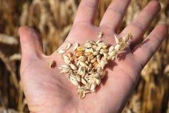 Korn sätter in och räcker