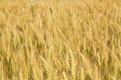 Korn som mognar i fälten Fotografering för Bildbyråer