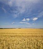 Korn som mognar i fälten Arkivbilder
