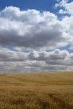 korn sparad ripening Arkivbilder