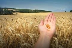 Korn und Hand Stockfoto