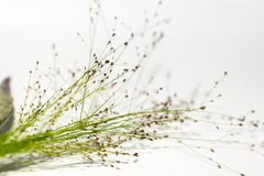 Korn wie die Blume gelegt zu einem weißen Hintergrund Lizenzfreies Stockbild