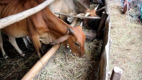 Korna äter torrt rissugrör som ett mål stock video