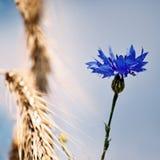 Kornblume auf einem Gebiet Stockfotos