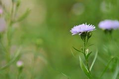 Kornblume in der Natur Stockfotografie