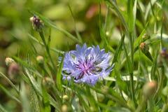 Kornblume im Gras Lizenzfreies Stockbild