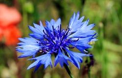 Kornblume - wilde Blume im Sommer Blauer Wildflower Stockfotos