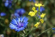Kornblume - wilde Blume im Sommer Blaues und gelbes wildflow Lizenzfreie Stockbilder