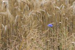 Kornblumen auf einem Gebiet mit den Weizenähren Stockfotografie