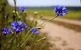 Kornblumen auf einem Gebiet nahe der Straße Kornblume - wilde Blume I Stockfotos