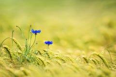Kornblumen auf einem Gerstengebiet stockbilder