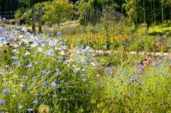 Kornblumen in Chartwell-Gärten, Kent Lizenzfreie Stockbilder