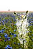 Kornblumen, Mohnblumen und Nebel Stockbild