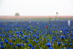 Kornblumen, Mohnblumen und Nebel Stockfotografie