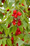 Kornelkirsche Cherry Plant Lizenzfreie Stockbilder