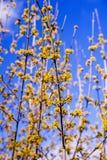 Kornelkirsche-Hartriegelblüte im Frühjahr Lizenzfreies Stockfoto