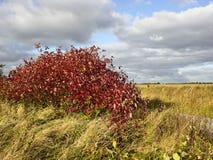 Kornelkirsche im Herbst stockfoto