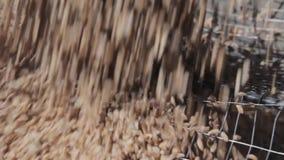 Kornet sållas, innan du laddar in i sammanslutningen Säsongsbetonat arbete på en kornlantgård Etapper av mjöl- och brödproduktion arkivfilmer