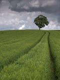 kornfält Arkivfoto